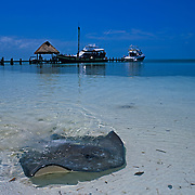 Stingray at Contoy Island..Quintana Roo, Mexico.