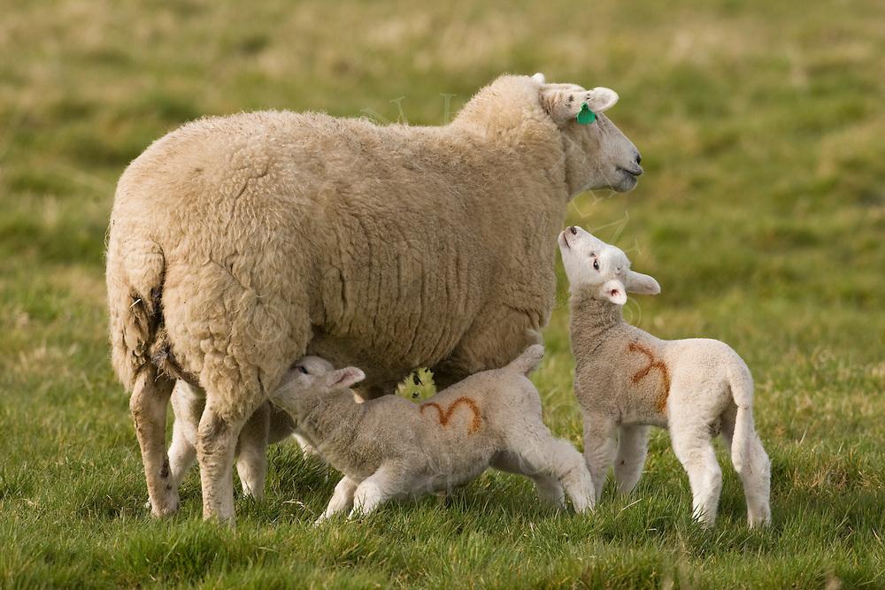 Domestic sheep (Ovis orientalis aries), ewe with lambs, Norfolk.