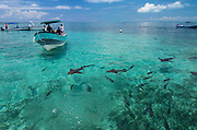 Nurse Shark (Ginglymostoma cirratum) & boats<br /> Shark Ray Alley<br /> Hol Chan Marine Reserve<br /> near Ambergris Caye and Caye Caulker<br /> Belize<br /> Central America