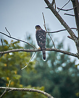 Cooper's Hawk. Image taken with a Nikon N1V3 camera and 70-300 mm VR lens (ISO 160, 300 mm, f/6.3, 1/320 sec)