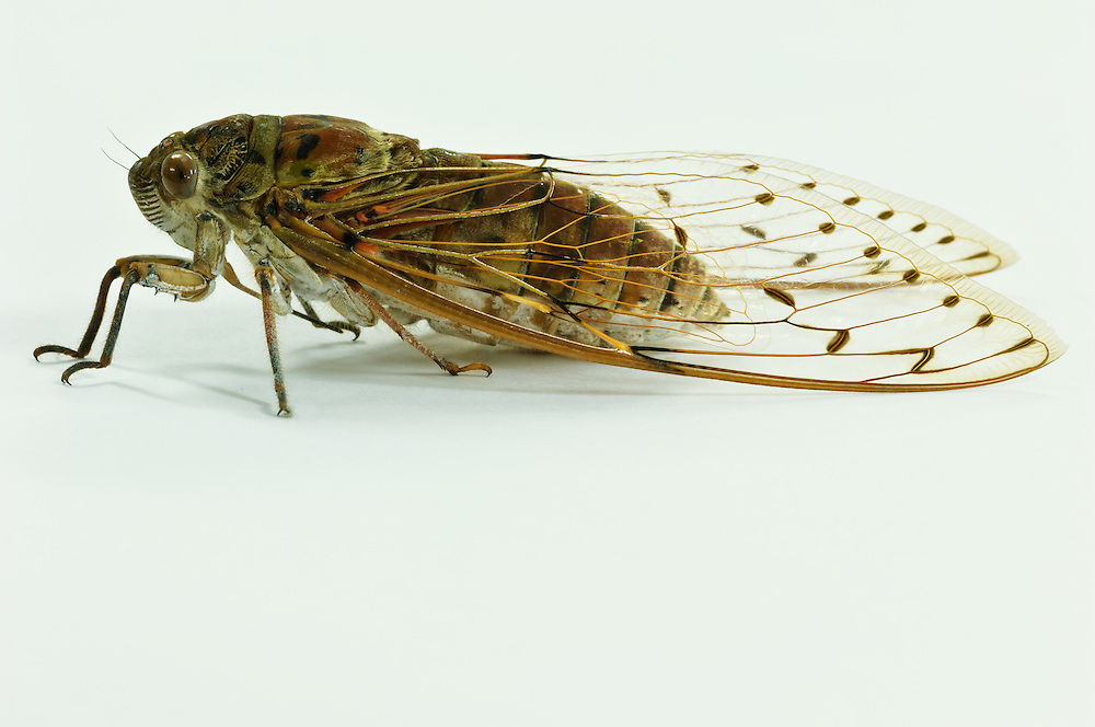 Close up stock photograph of a brown cicada (Platylomia sp) in Malaysia,  Southeast Asia