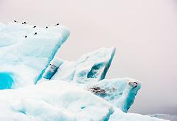 Black-legged Kittiwake (Rissa tridactyla) on iceberg in Svalbard