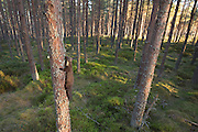 Pine marten (Martes martes) exploring pine woodland, Glenfeshie, Scotland.
