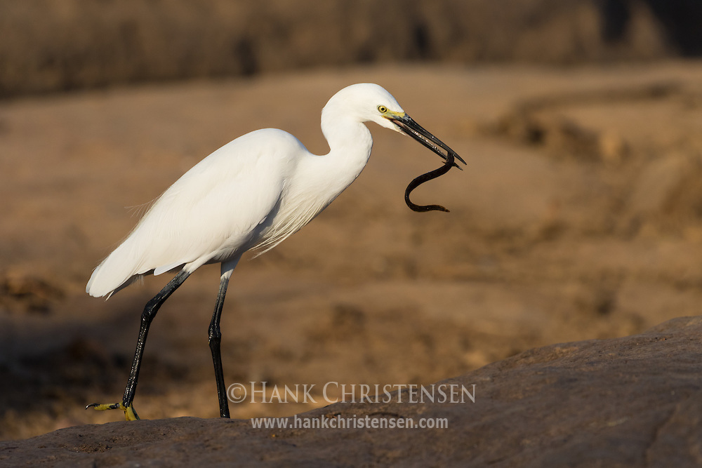 After catching a small eel, a little egret attempts to swallow it whole, Tamil Nadu, India.