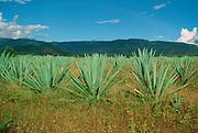 Maguey Cactus, Oaxaca, Mexico<br />