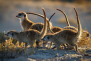 A group of Meerkats mobbing a scent marking left by a rival group.