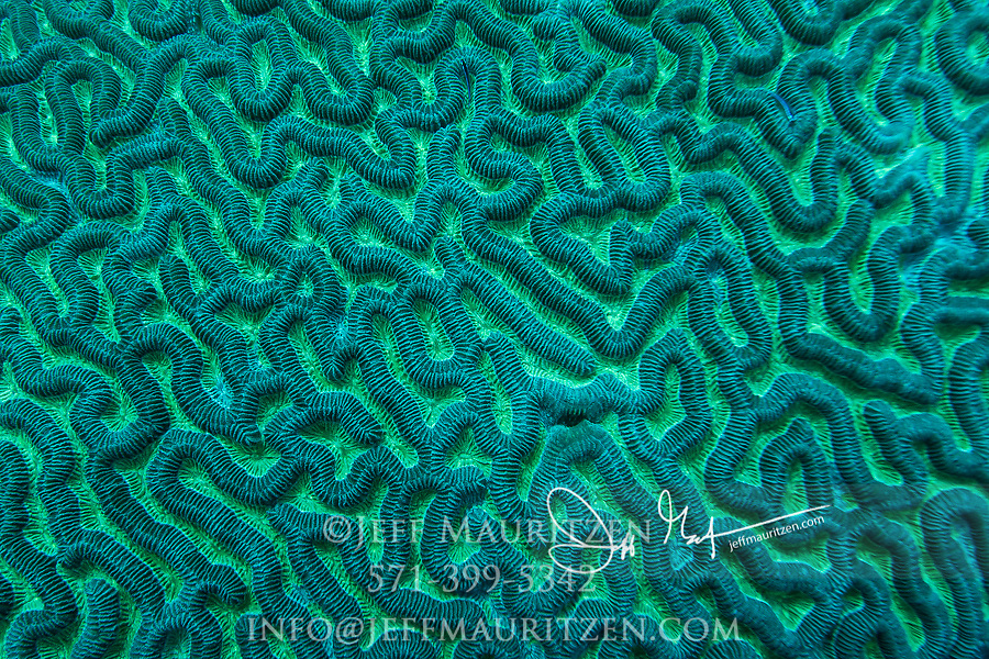 Close up detail of the pattern on a Brain coral.