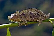 von Höhnel's Chameleon, Chamaeleo hoehnelii, from Kenya.