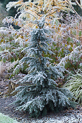 Tsuga mertensiana 'Blue Star' in winter