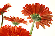 Still life of red Gerbera