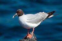 Portrait of Swallowtailed Gull (Creagrus furcatus) in the Galapagos Islands, Ecuador.