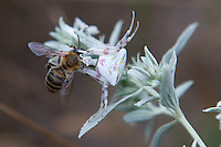 Flowering Crab Spider with prey, killed bee, Bagerova Steppe, Kerch Peninsula, Crimea, Ukraine