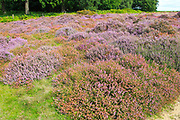 Heather plants, Calluna vulgaris, purple flowers, heathland vegetation, Sutton Heath, Suffolk Sandlings, Shottisham, England, UK