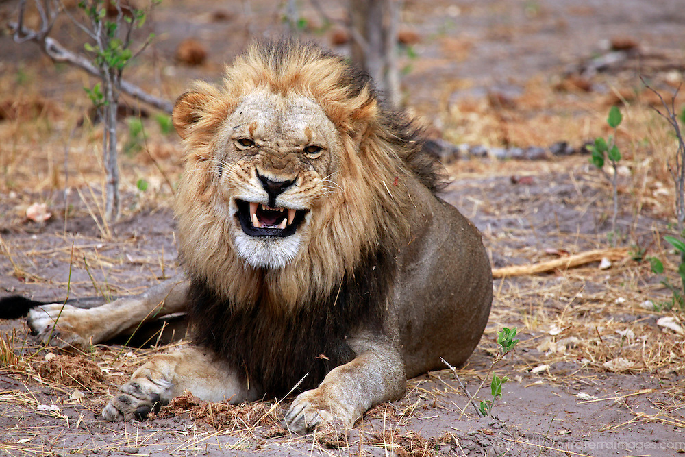 Africa, Botswana, Savute. Lion snarling in Savute, Chobe National Park.