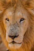 A male white lion,  Lion Park, Johannesburg, South Africa. The white lion is a rare color mutation of the Timbavati region of South Africa.