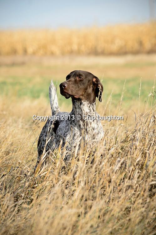 Pointing dog stock photo image