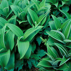 White Mountain N.F. NH.False Hellbore, Veratrum viride, on the lower slopes of Mt. Adams..