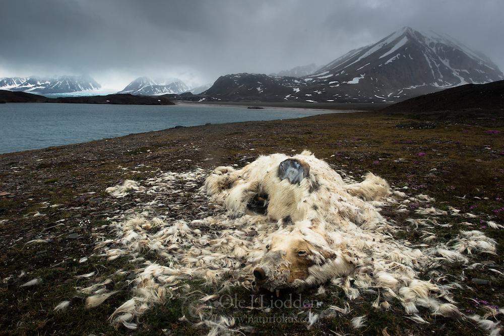Dead Polar bear (Ursus maritimus) in Liefdefjorden, Svalbard, Norway