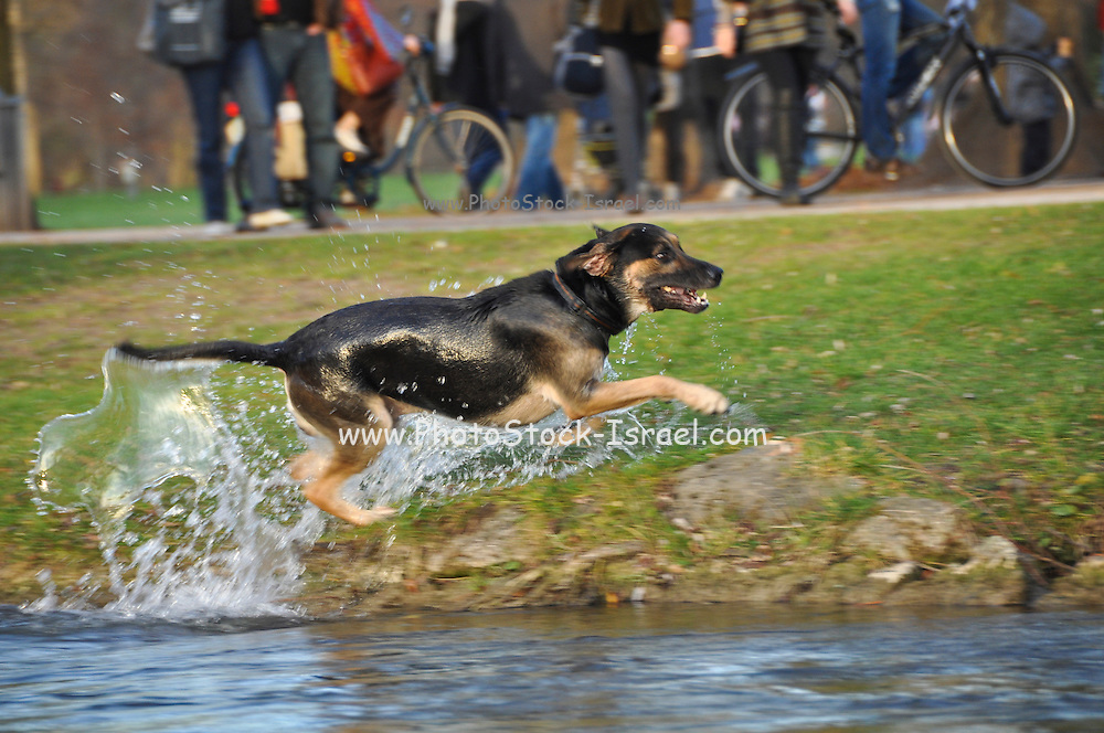 Wet Dog jumps out of water pond