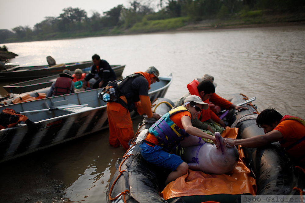 Bolivian biologist Mariana Escobar, second from right, is helped by rescue workers as she tries to prevent a 300 kg pink dolphin to jump from a rescue boat before they reach deep waters  at the Grande river near Las Londras farming complex, Santa Cruz, Bolivia, Tuesday, Aug. 24, 2010. (Hilaea Media/Dado Galdieri).