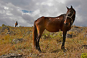 TWO HORSES IN A FIELD OF THE NORHTEN ANDES.