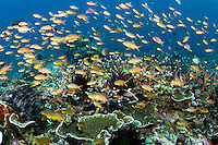 Anthias feed in the current<br /> <br /> Shot in Indonesia