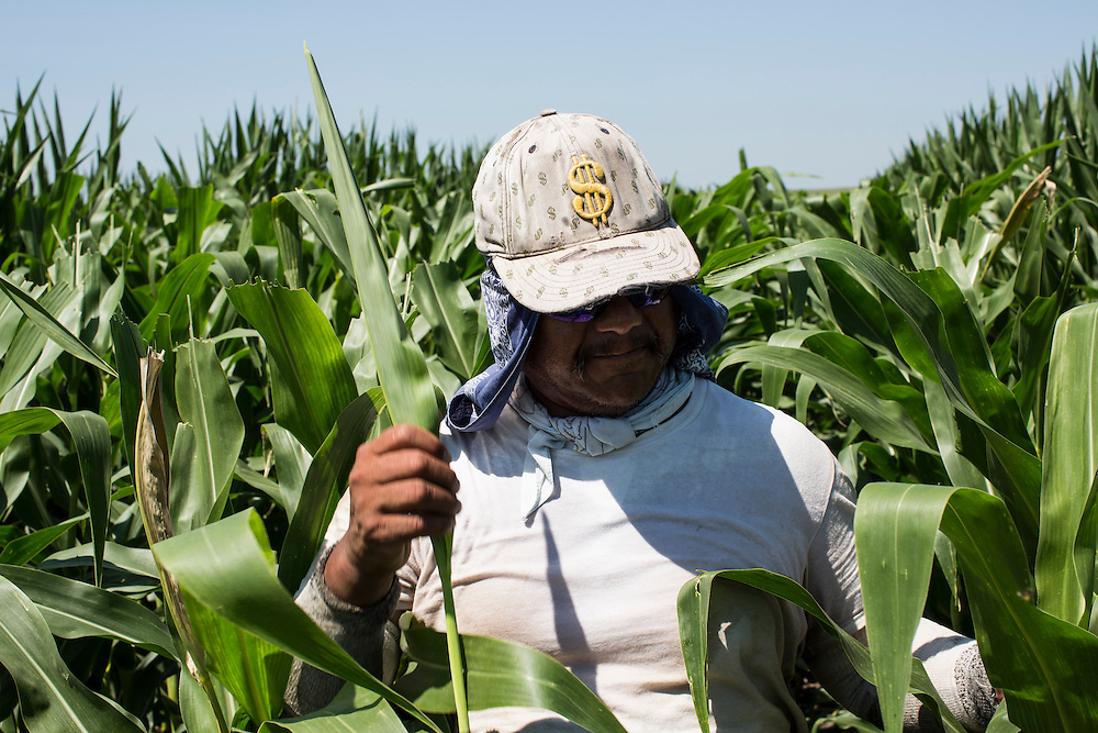 A man detassles corn in a field on Tuesday, July 17, 2012 near Webster City, IA. The seasonal job, which used to employ mostly local children, has increasingly been taken over by Mexican immigrants.