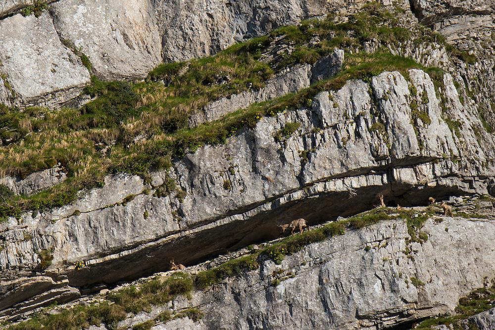 Apennine Chamois, Rupicapra pyrenaica ornata, in the Central Apennines rewilding area, Italy, in and around the Abruzzo, Lazio e Molise National Park.