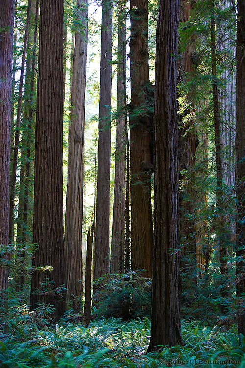 A grove of Redwood trees and a carpet of ferns in a lush evergreen forest.