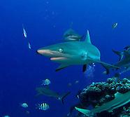 Yap Manta Fest Sharks 2010