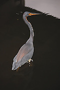 This is a photograph of a tri-colored heron under the bridge; taken at Wakodahatchee Wetlands in Delray Beach, Florida.