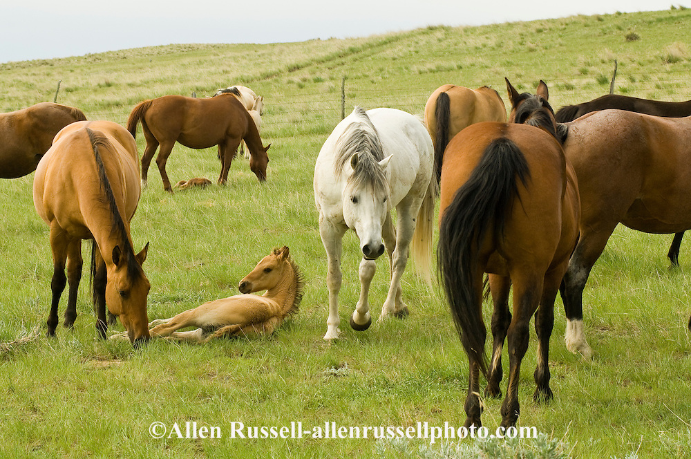 Quarter Horses, stallion teases mares to see if they are in heat to breed<br /> PROPERTY RELEASED
