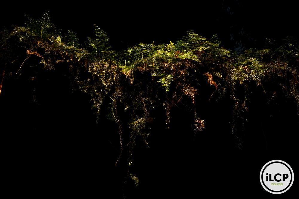 Epiphytes covering tree branch, Tawau Hills Park, Sabah, Borneo, Malaysia