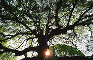 "Sunset behind a mature oak tree on the grounds of the Toji ?? temple, ""East Temple. UNESCO world heritage site.  Toji is the one of the most important Shingon temples. Kyoto, Japan"