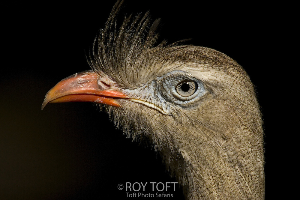 Close view of head of a Red-legged Seriema (Cariama cristata).