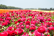 A field of red, cultivated Buttercup (Ranunculus) flowers for export to Europe. Photographed in Israel Northern Negev