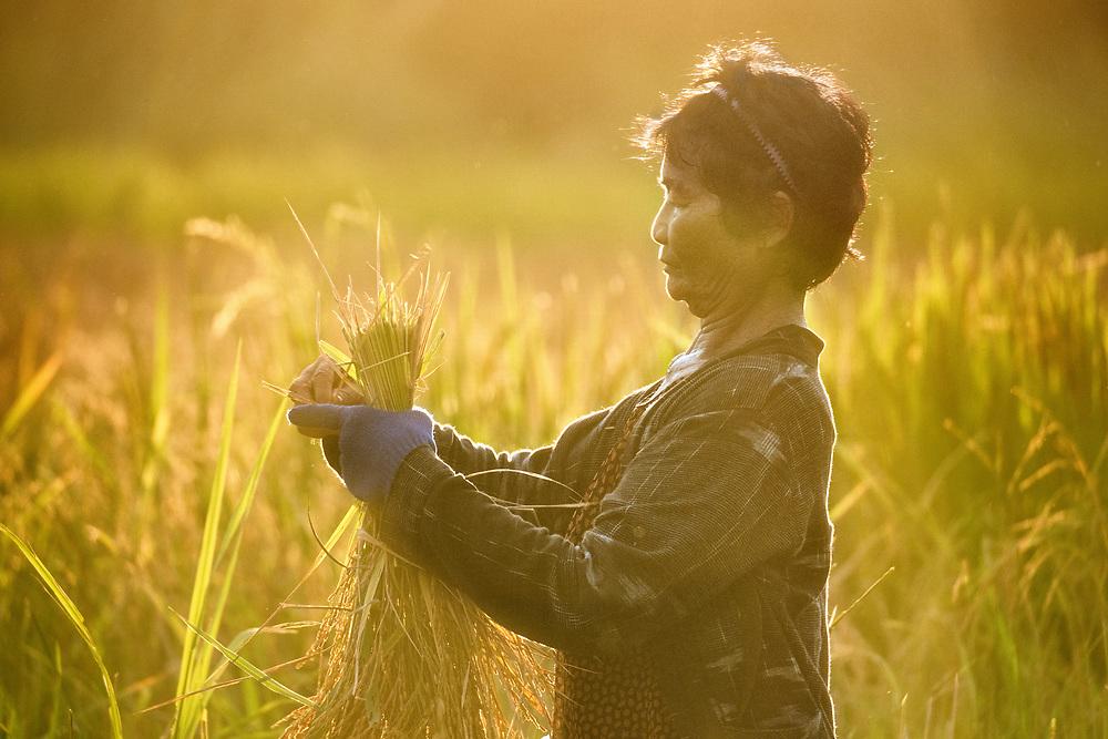 Green Rice Harvest, on the Farm in Nakhon Nayok, Thailand