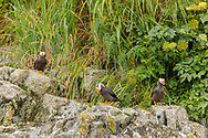 Tufted Puffins (Fratecula cirrhata) perched on island in Prince William Sound in Southcentral Alaska. Summer. Afternoon.