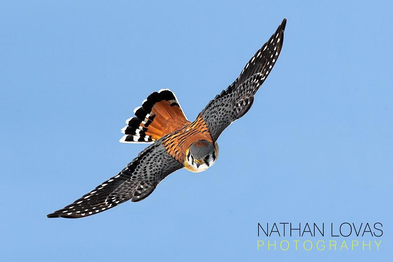 American Kestrel in flight;  MInnesota.