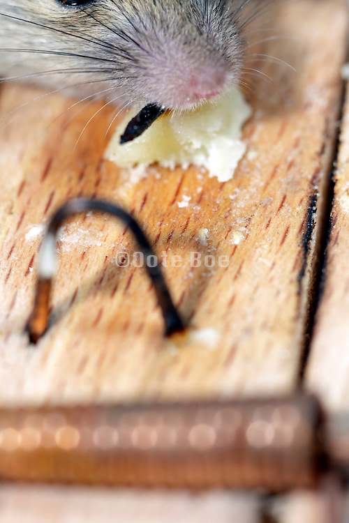 mouse feasting on cheese on a not set on sharp mousetrap