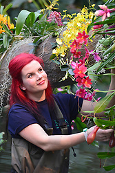 © Licensed to London News Pictures. 02/04/14 About 125 jobs could be cut as the Royal Botanic Gardens in Kew, west London, faces a £5m shortfall in revenue in the coming financial year. FILE PICTURE DATED 06/02/2014. Kew, UK. Horticulturist Ellie arranges the displays. Orchids, the first festival on Kew's 2014 events calendar showcases thousands of exotic and rare orchids. The tropical display can be viewed at The Princess of Wales Conservatory, where it's always hotter than 21°C, Kew Gardens, Saturday 8 February to Sunday 9 March 2014. Photo credit : Stephen Simpson/LNP