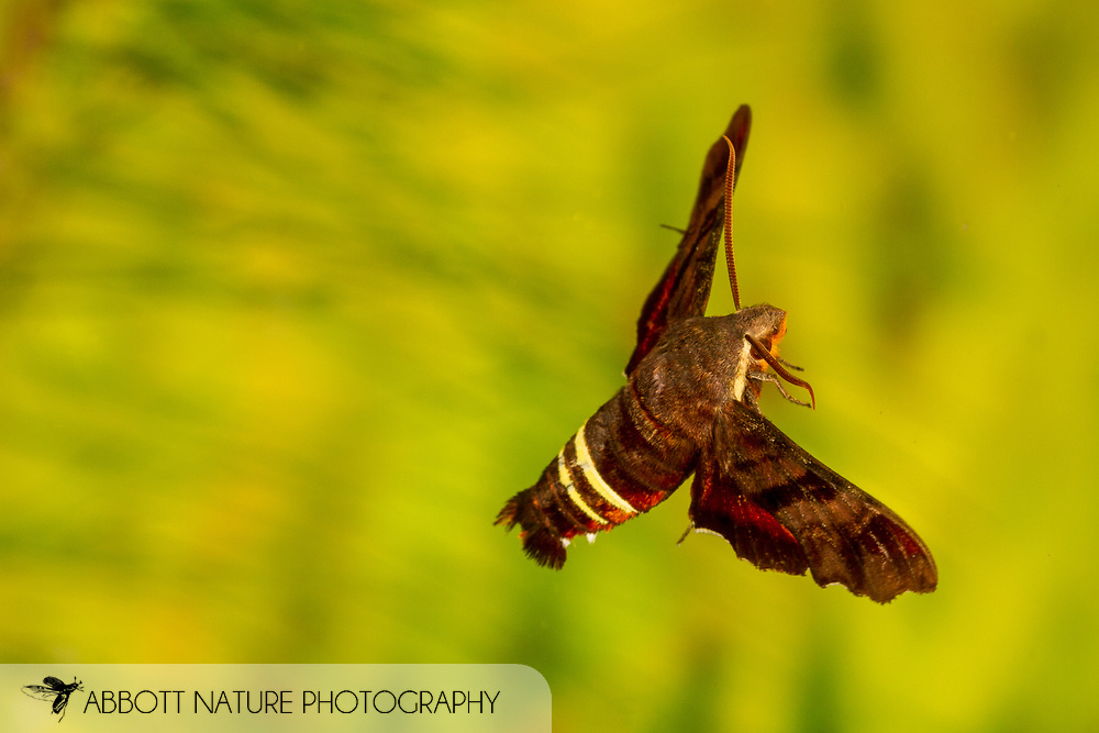 Nessus Sphinx - Hodges#7873 (Amphion floridensis)<br /> United States: Alabama: Tuscaloosa Co.<br /> Tulip Tree Springs off Echola Rd.; Elrod<br /> 28-May-2017<br /> J.C. Abbott #2954 &amp; K.K. Abbott