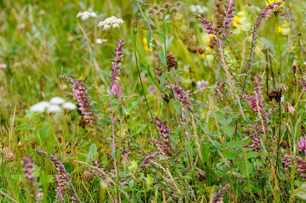 Rode ogentroost of late ogentroost, Odontites vernus subsp. serotinus