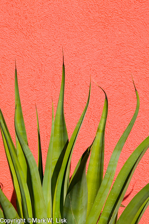 A bright green Century Plant contrast with a pink/magenta wall to create strong graphic pattern.