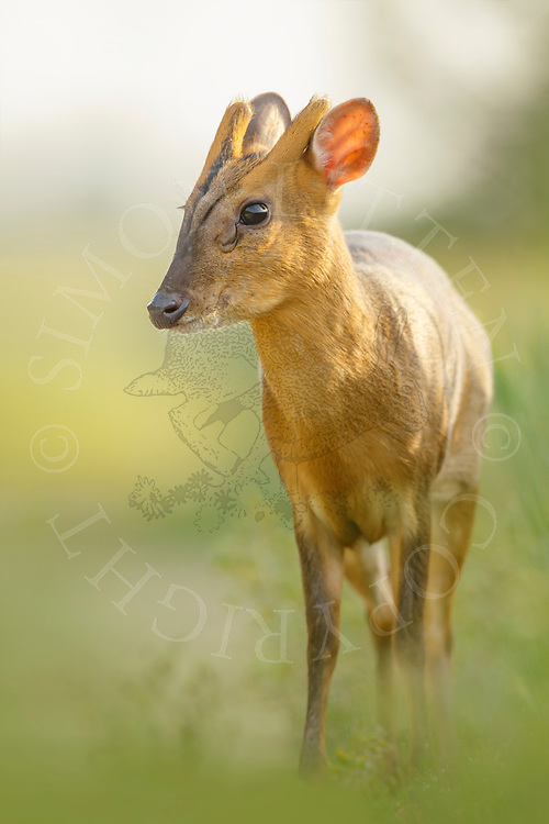 Chinese Muntjac (Muntiacus reevesi) introduced species, male in field margin, South Norfolk, UK. May.