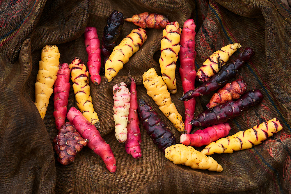 Oca is a tuber relative of the potato, grown in the high Andes.  Oca is part of the vast biodiversity of some 1,300 varieties of potatoes and tubers grown here. Seen here at the home of Mariano and Antonia Sutta Apucusi at ther home in Pampallacta, at the Parque de la Papa near Pisac, Peru.<br /> <br /> Mariano Sutta Apucusi is wearing the traditional hat and a dark red sweater. Sabina Sutta Apucusi is his sister, wearing a brown hat and a light red sweater.