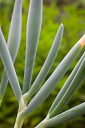 The foliage of Allium pskemense