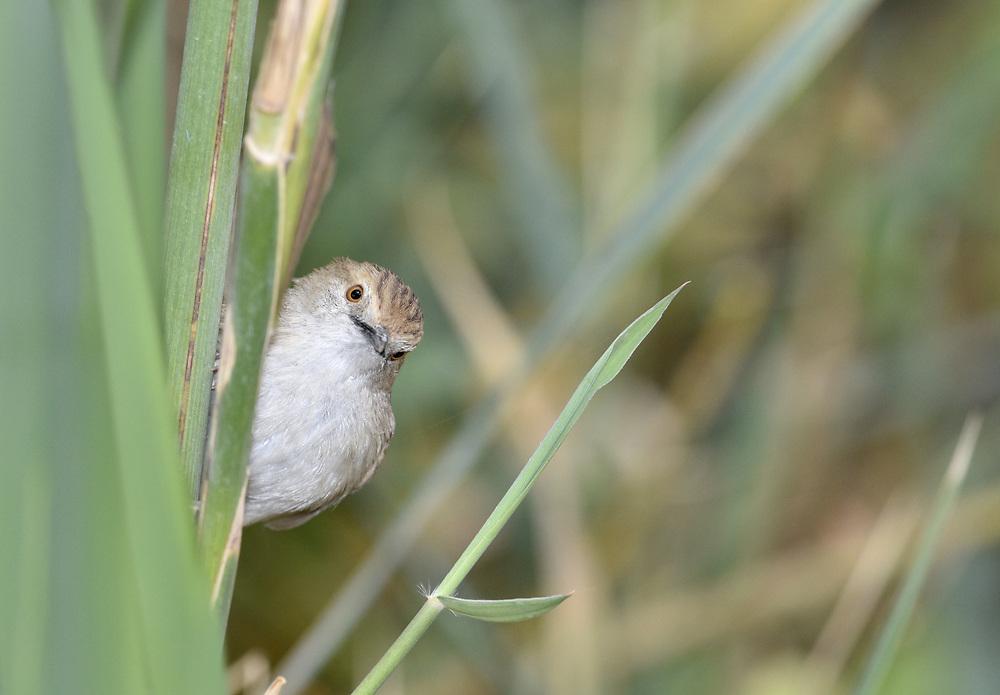 Graceful Prinia - Prinia gracilis