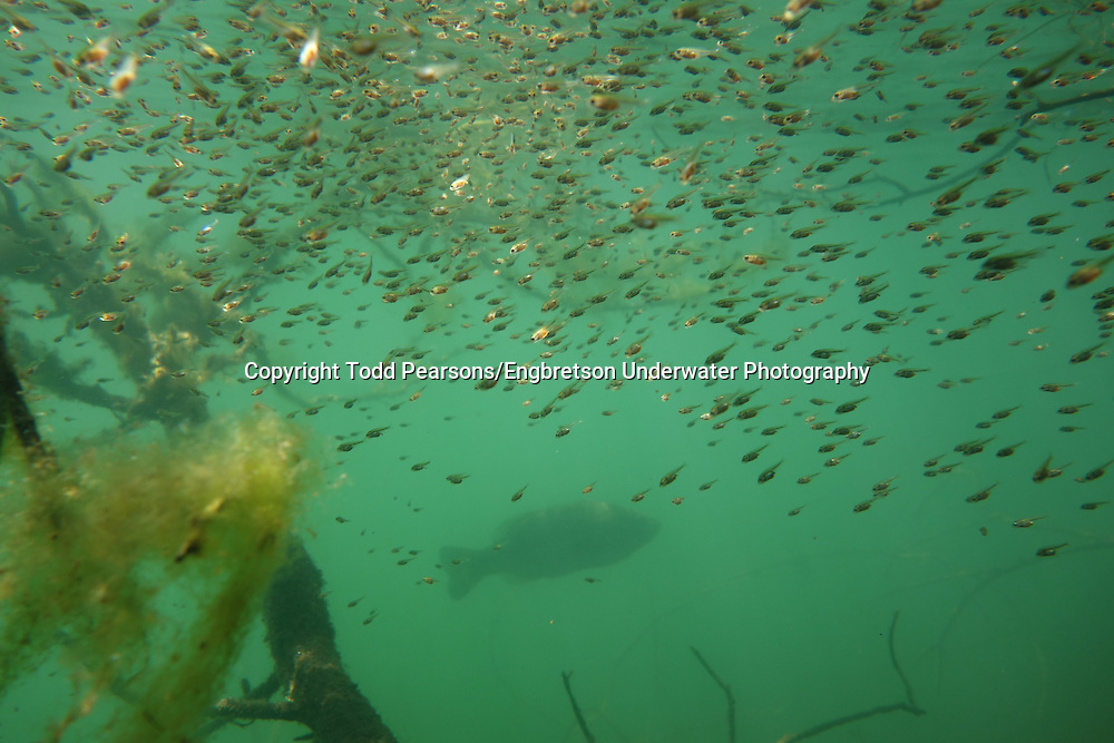Largemouth Bass Fry<br />