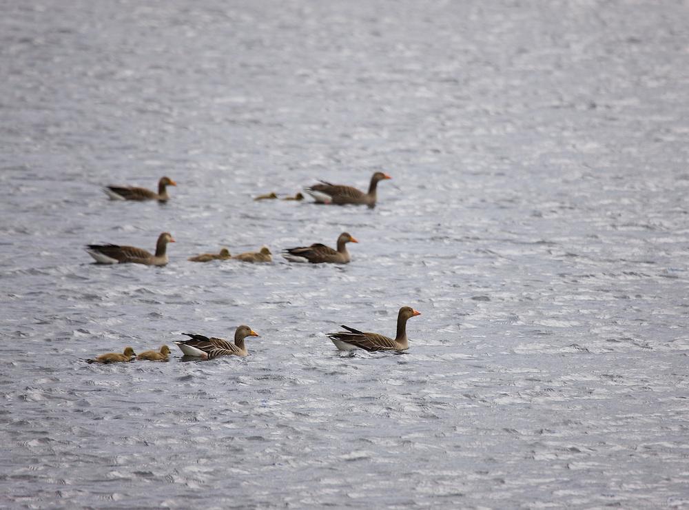 Greylag goose, Ansar común (Anser anser). Scotland, UK